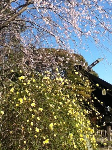 神社 桜 菜の花