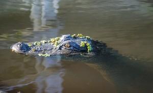 alligator-439889_640